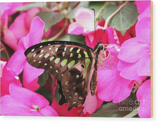 Tailed Jay Butterfly #4 Wood Print