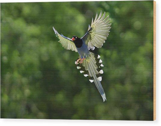 Taiwan Blue Magpie,bird, Family Corvidae Wood Print