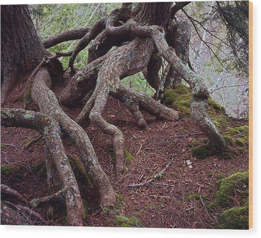 Tangled Roots Wood Print