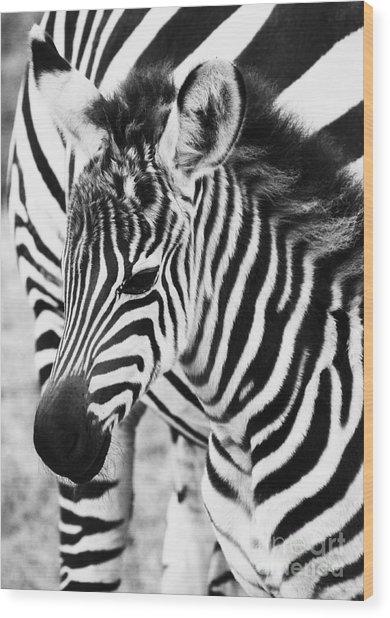 Tanzania Zebra Foal Wood Print