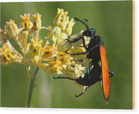 Tarantula Hawk Wasp Wood Print