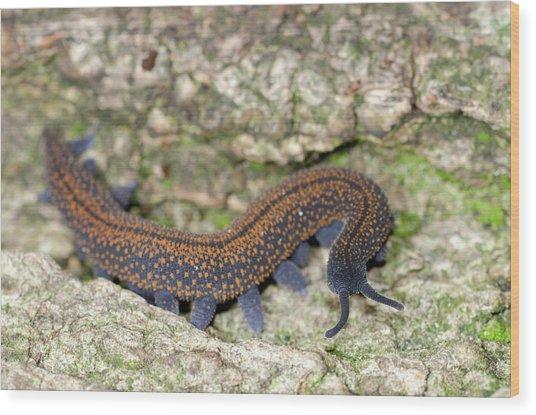 Tasmanian Velvet Worm Wood Print