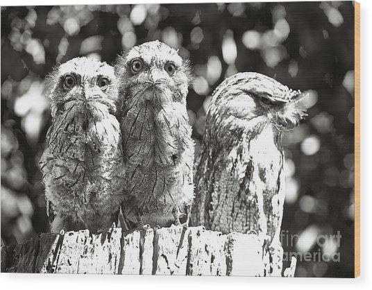 Tawny Frogmouths Wood Print by David Benson