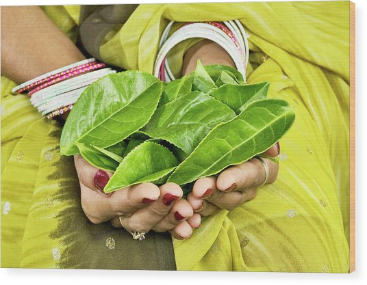 Tea Leaves In Hands Wood Print by Lea Paterson/science Photo Library