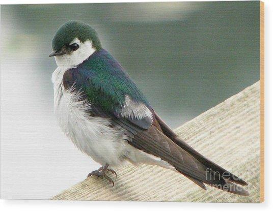 Violet-green Swallow Wood Print