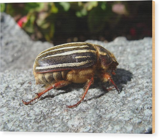 Ten-lined June Beetle Profile Wood Print