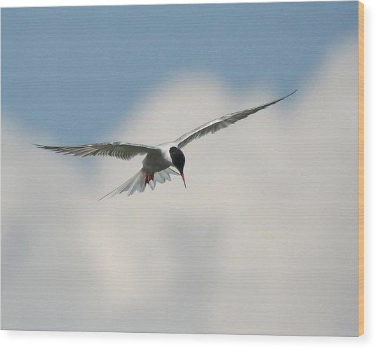 Tern In Flight Wood Print