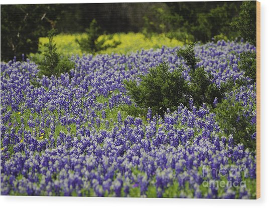 Texas Bluebonnets 1 Wood Print by Richard Mason