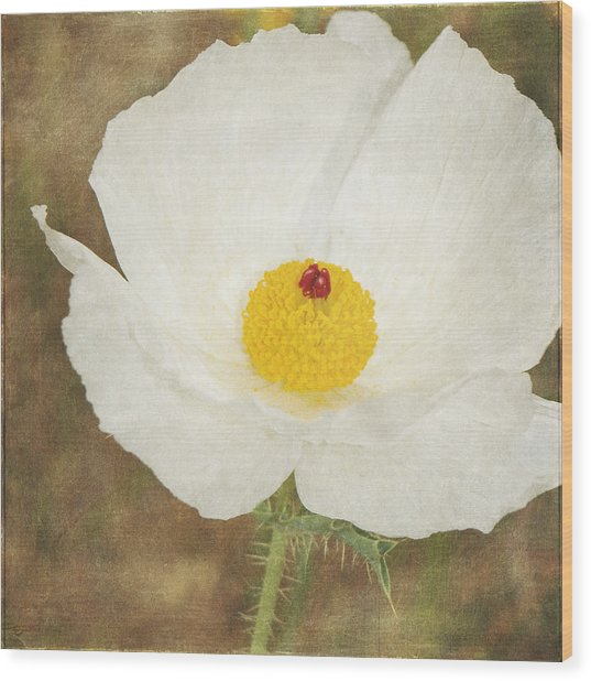 Texas Prickly Poppy Wildflower Wood Print