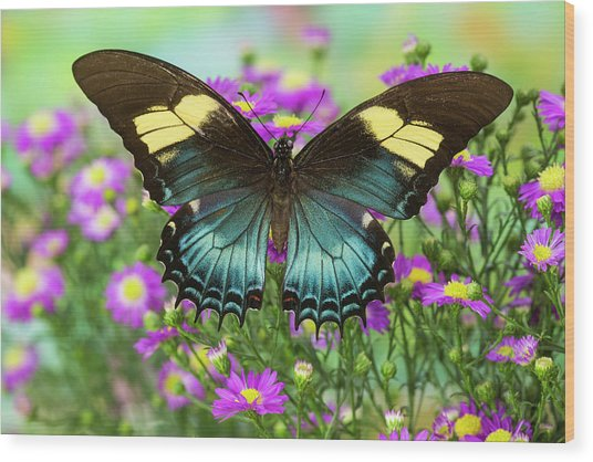 The Androgeus Swallowtail, Queen Page Wood Print by Darrell Gulin