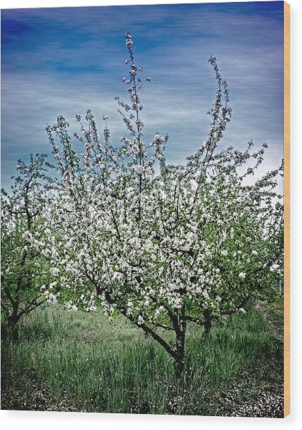 The Apple Tree Blooms Wood Print