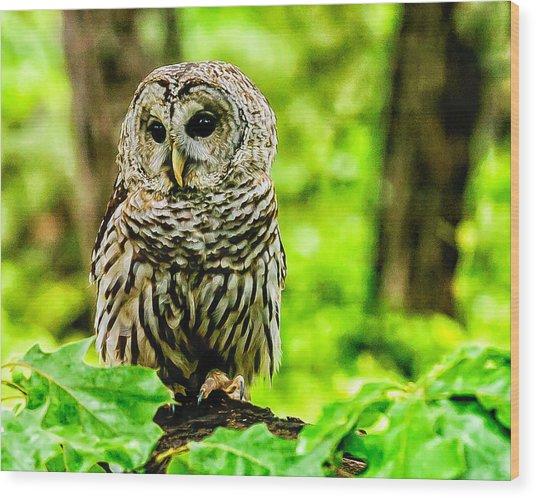 The Barred Owl Wood Print