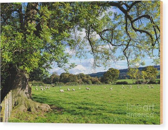 The Beautiful Cheshire Countryside - Large Oak Tree Frames A Field Of Lambs Wood Print