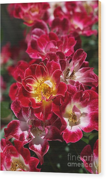 The Beauty Of Carpet Roses  Wood Print