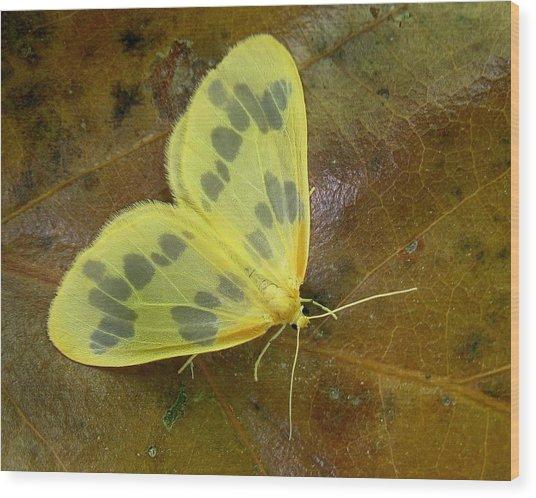 The Beggar Moth Wood Print
