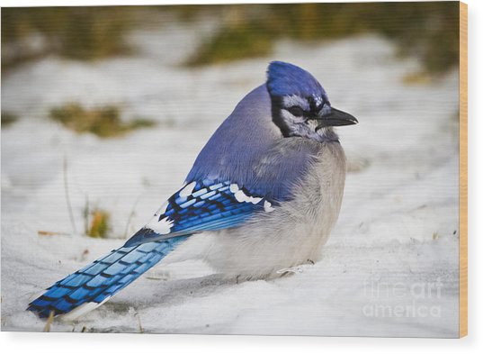 The Bluejay Wood Print