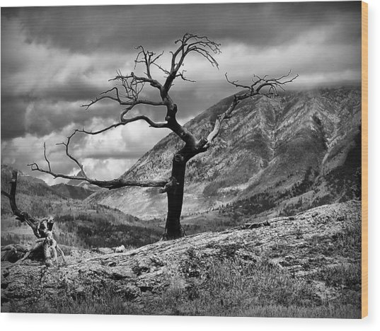 The Burmis Tree Wood Print
