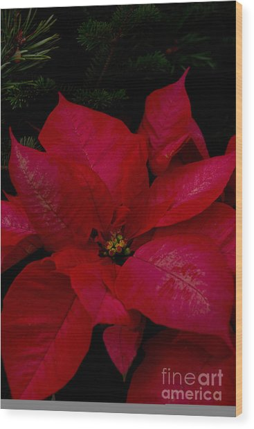 The Classic Christmas Pointsettia Wood Print