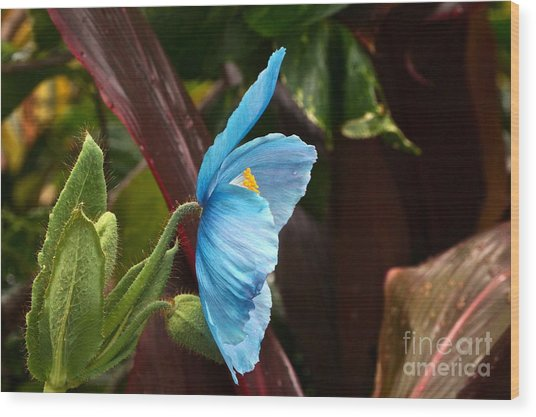 The Colors Of The Himalayan Blue Poppy Wood Print