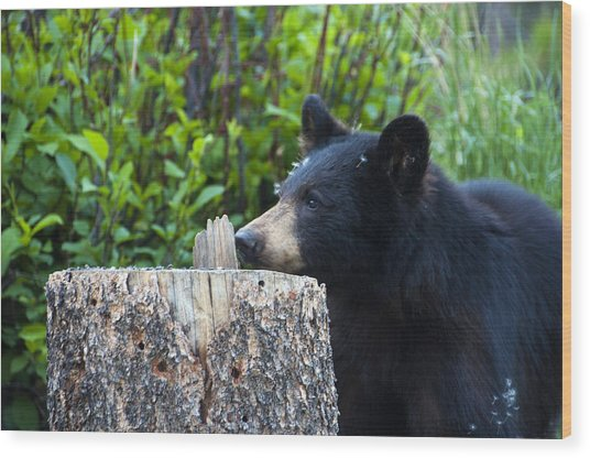 The Cub That Came For Lunch 1 Wood Print
