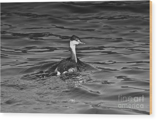 The Curious Grebe Wood Print