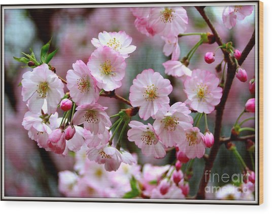The Delicate Cherry Blossoms Wood Print