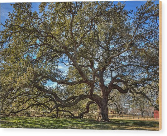 The Emancipation Oak Tree At Hu Wood Print