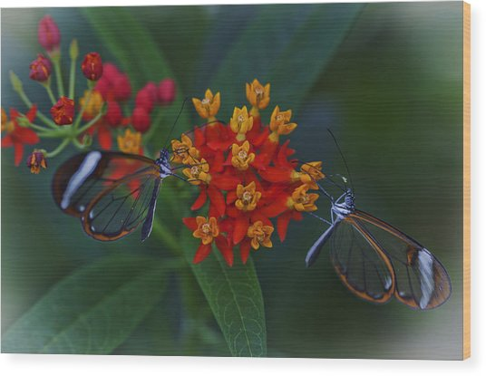 The Glasswinged Butterfly Wood Print