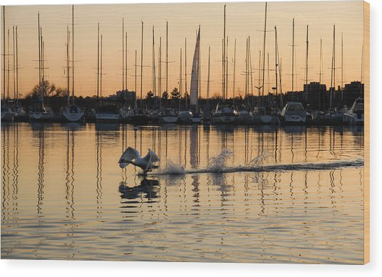 The Golden Takeoff - Swan Sunset And Yachts At A Marina In Toronto Canada Wood Print