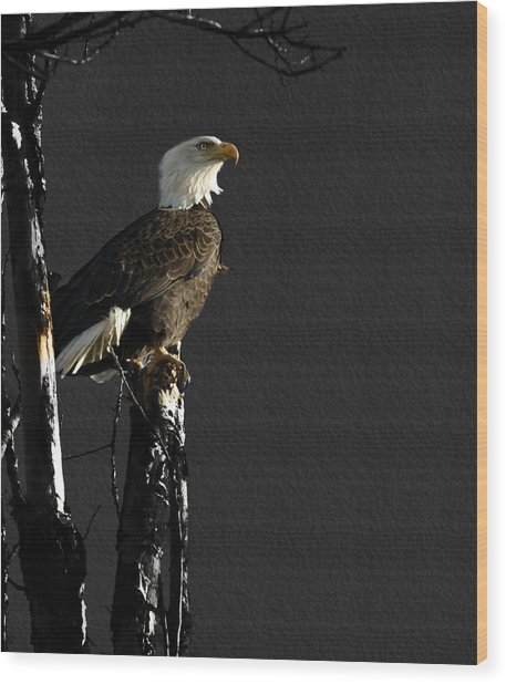 The Great Bald Eagle 1  Wood Print