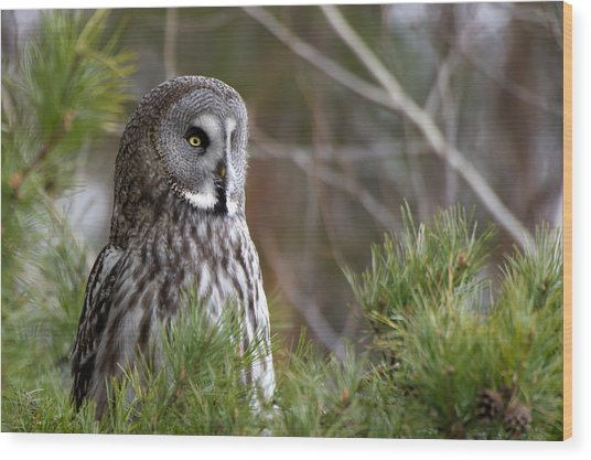 The Great Grey Owl Wood Print