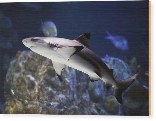 The Grey Reef Shark - Carcharhinus Amblyrhynchos Wood Print