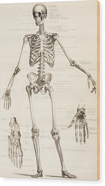 The Human Skeleton Wood Print
