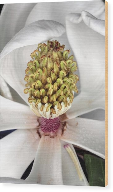 The Magnolia Debutante Wood Print by JC Findley