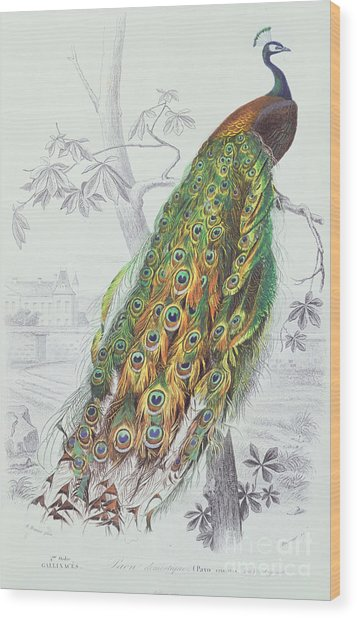 The Peacock Wood Print