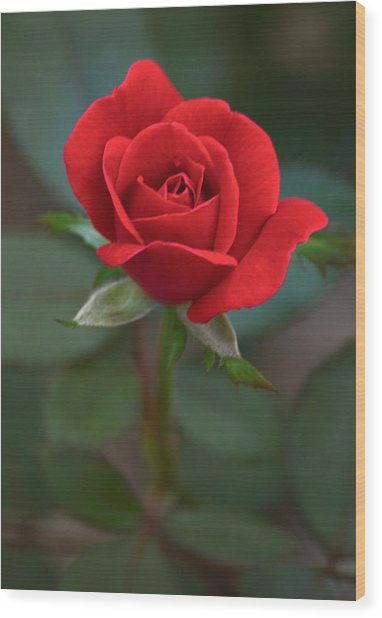 The Perfect Rose Wood Print
