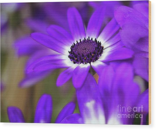 The Purple Daisy Wood Print