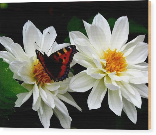The Red Admiral Wood Print