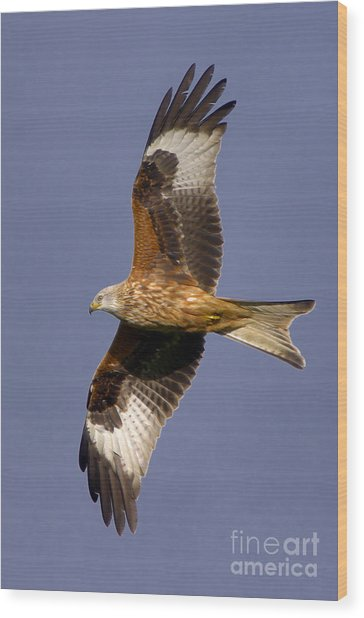 The Red Kite Wood Print