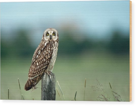 The Short-eared Owl  Wood Print