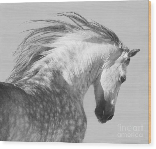 The Spanish Stallion Tosses His Head Wood Print