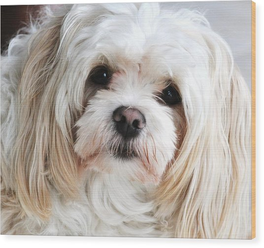 The Sweetest Maltese Wood Print