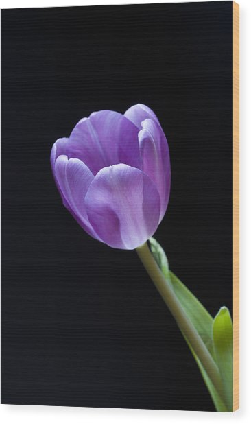 The Tulip Is A Courtly Queen Wood Print