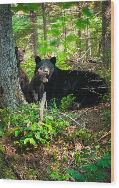 The Ultimate Single Mother Black Bear Sow And Cubs Wood Print