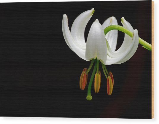 The White Form Of Lilium Martagon Named Album Wood Print