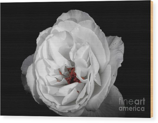 The White Rose Wood Print