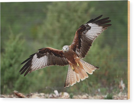 The Wings Of The Red Kite Wood Print