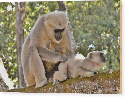 There Is Nothing Like A  Backscratch - Monkeys Rishikesh India Wood Print