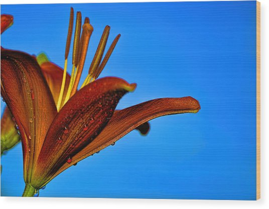 Thirsty Lily In Hdr Art  Wood Print