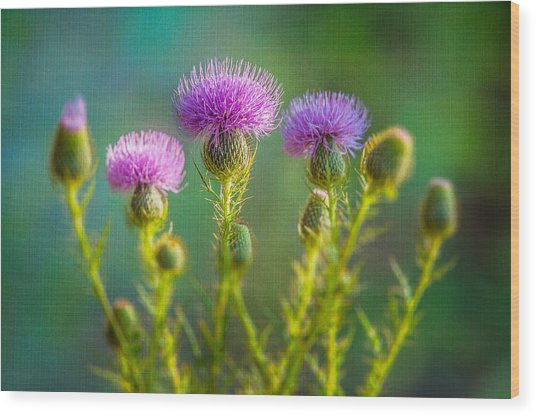 Thistle In The Sun Wood Print